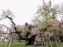 伊佐沢の久保桜