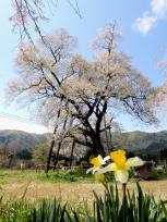 十二の桜と水仙