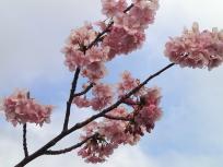 開花促進剤の桜