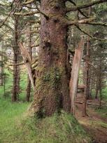 家の柱とトウヒの木