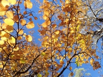 ナンキョクブナの黄葉
