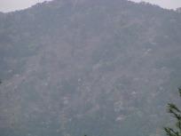 山のさくら