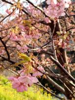 川沿いの桜と菜の花