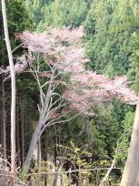 金峯神社桜