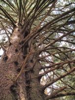 双子のトウヒの木