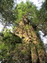 トウヒの木