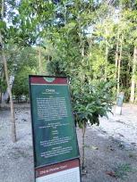 チクレの木