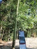 セイバの木