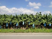 バナナのプランテーション