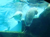 泳ぐアザラシ