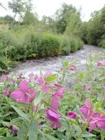 川とヒメヤナギラン