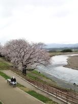 保津川と桜