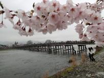 桜と渡月橋