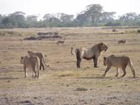 P9160186四頭のライオン